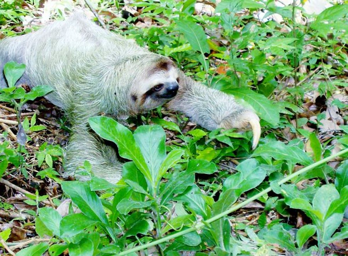 Sloth and the Weasel – Answer to a Poetic challenge by Chris Mills via Natalie Frank's hub.