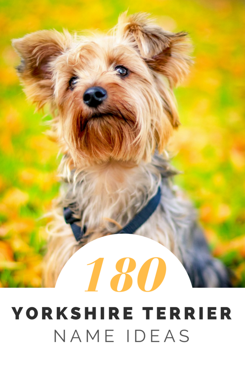 180+ Cute Yorkie Names for Your Tiny Terrier