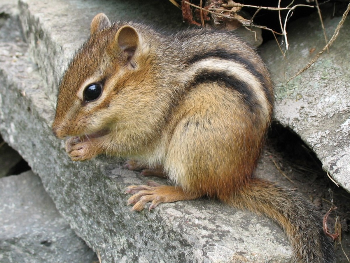Chipmunks are so adorable but when it comes to chomping on the wiring in you car, they're not so cute!