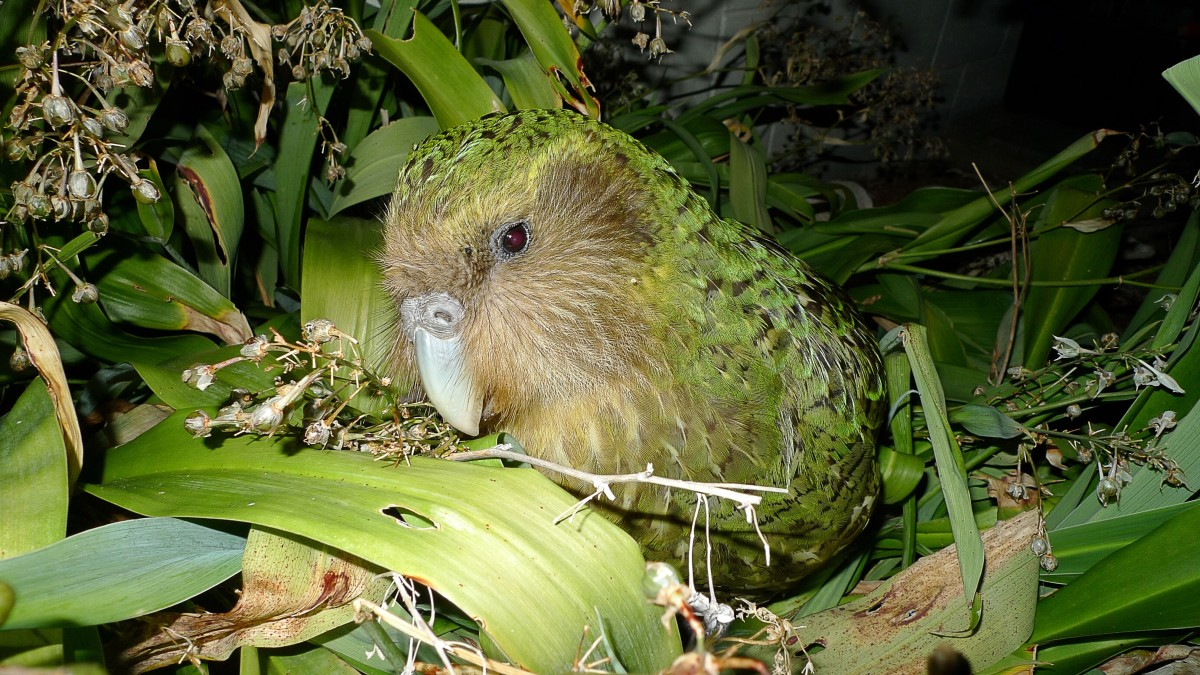 The Endangered Kakapo Parrot and Sirocco the Celebrity Bird