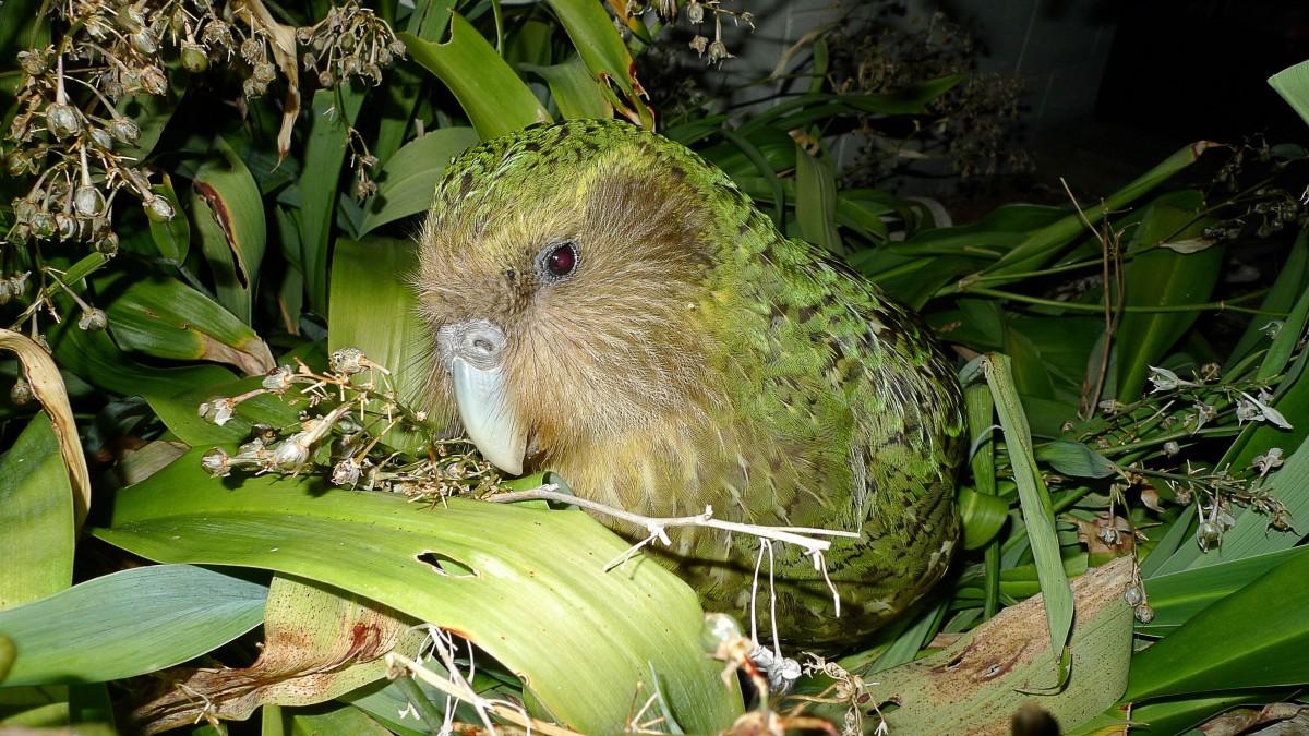 Sirocco the kakapo