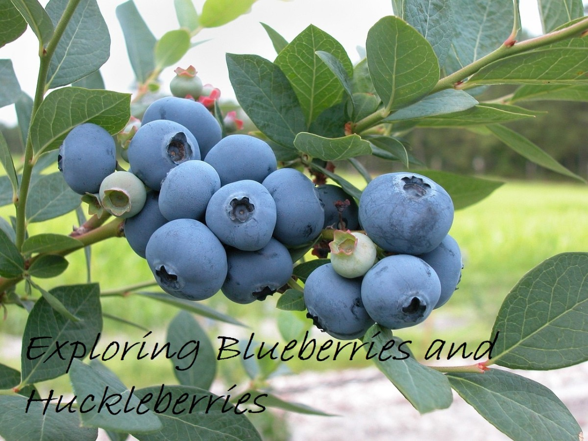 Exploring Blueberries and Huckleberries