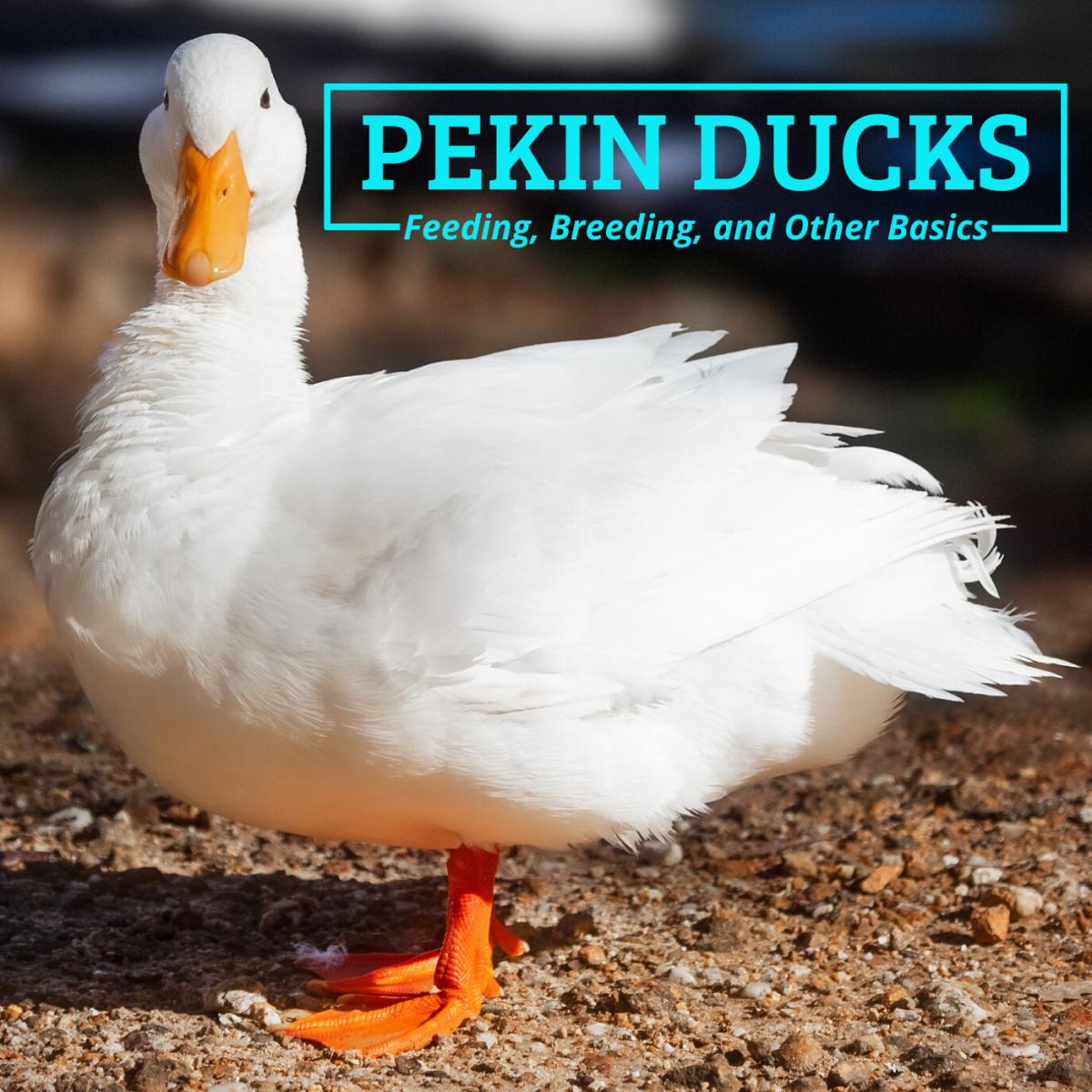 Pekin ducks are beautiful, hearty birds that make great pets and show birds but are also prized for their meat and eggs.