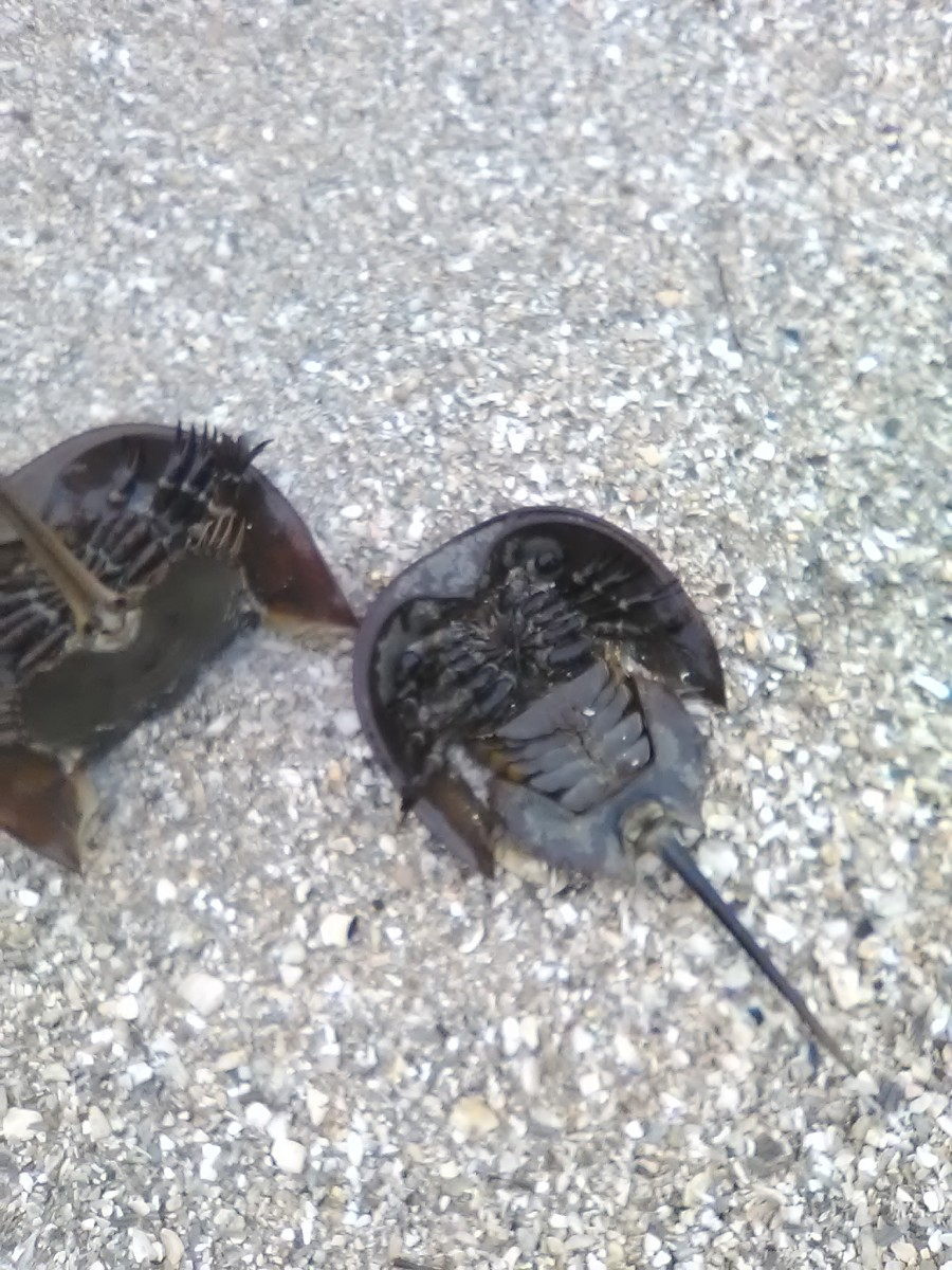 Atlantic Horseshoe Crab Mating Season and More in Maryland