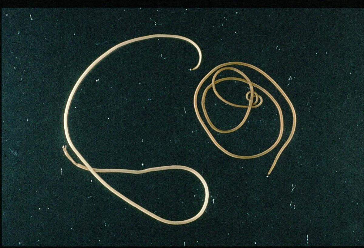 Paragordius tricuspidatus is a type of horsehair worm.