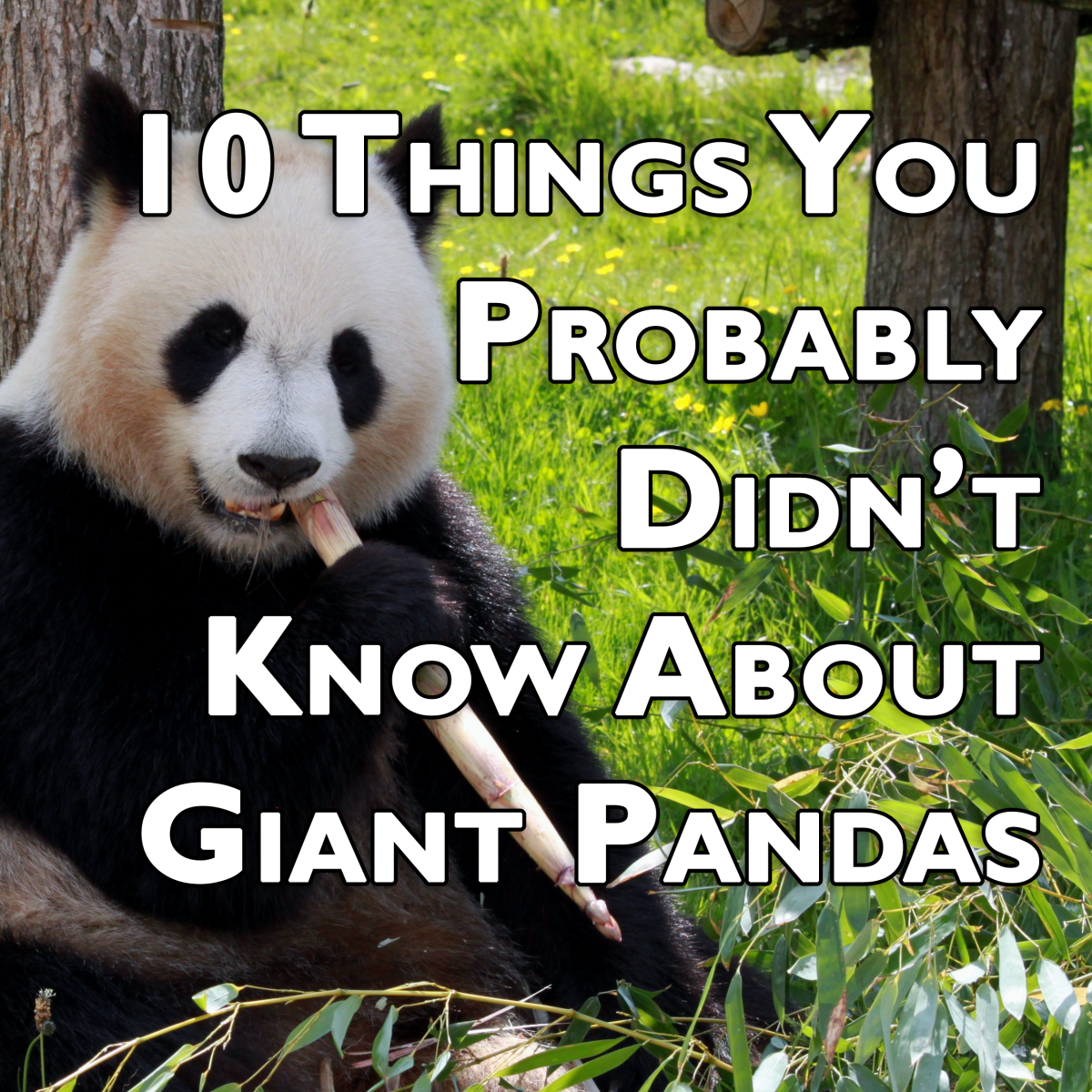 10 Things You Probably Didn't Know About Giant Pandas