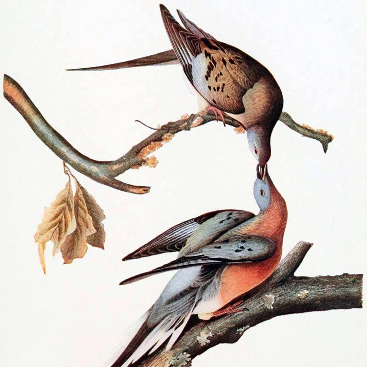The Story of the Extinct Passenger Pigeons