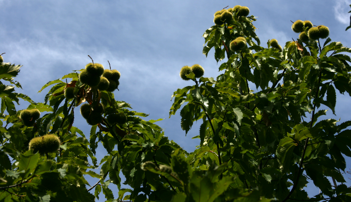 America's Vanished Treasures: The American Chestnut Tree