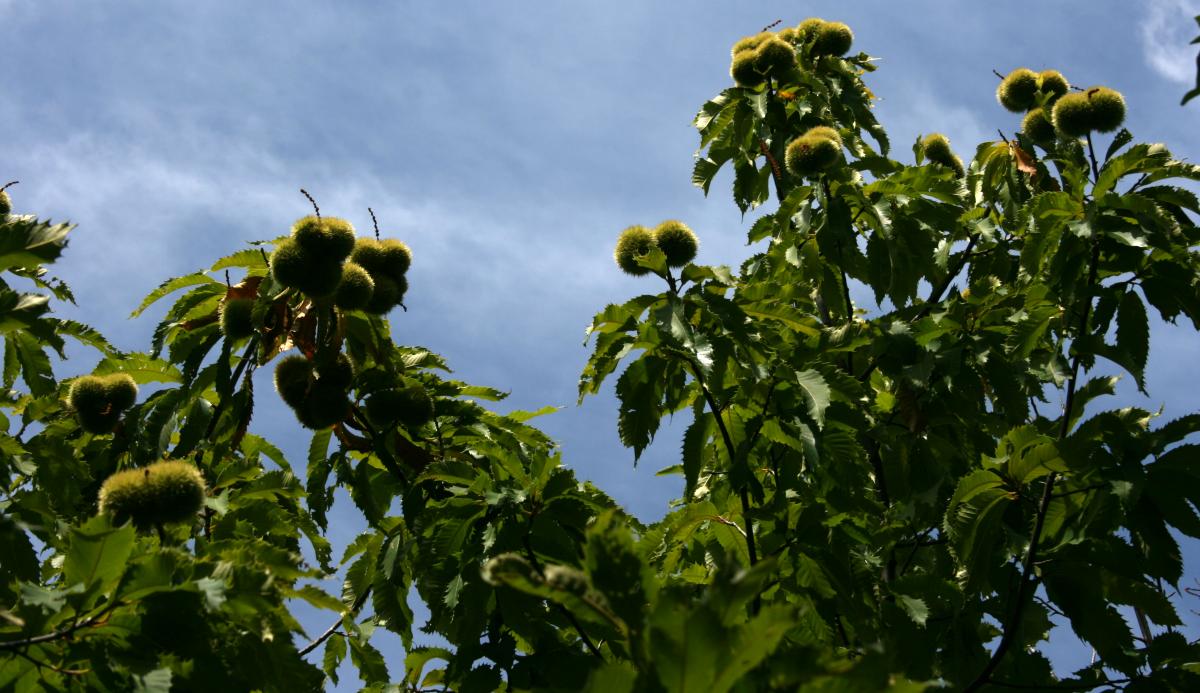 America's Vanished Treasures: The American Chestnut Tree