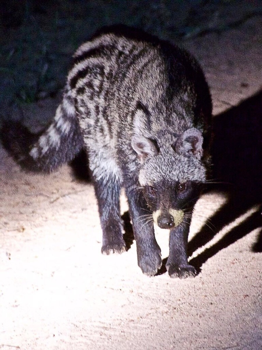 40 African Civet Facts: Body Features, Life, and Behavior