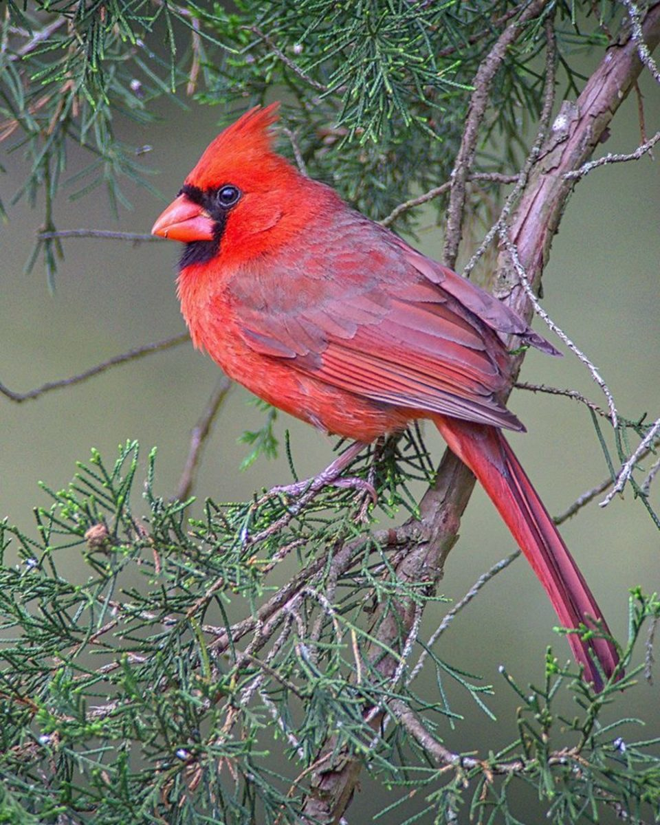 The northern cardinal is always a welcome sight to see in the winter, when their red feathers are easy to see in a snow-covered tree. Don't forget that humans are not the only ones who need shelter in the winter.