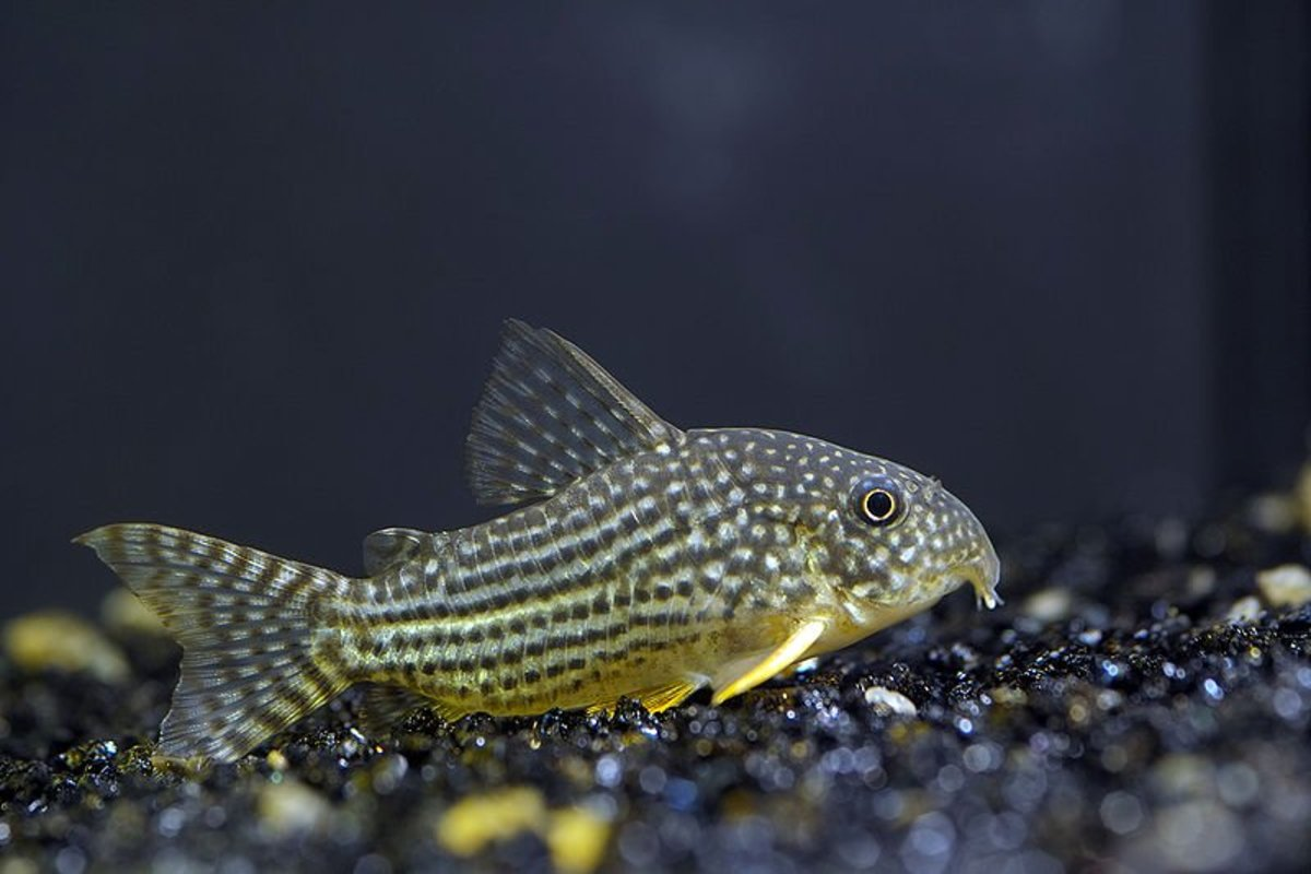 Cory catfish are among the best fish for a 20-gallon tank.