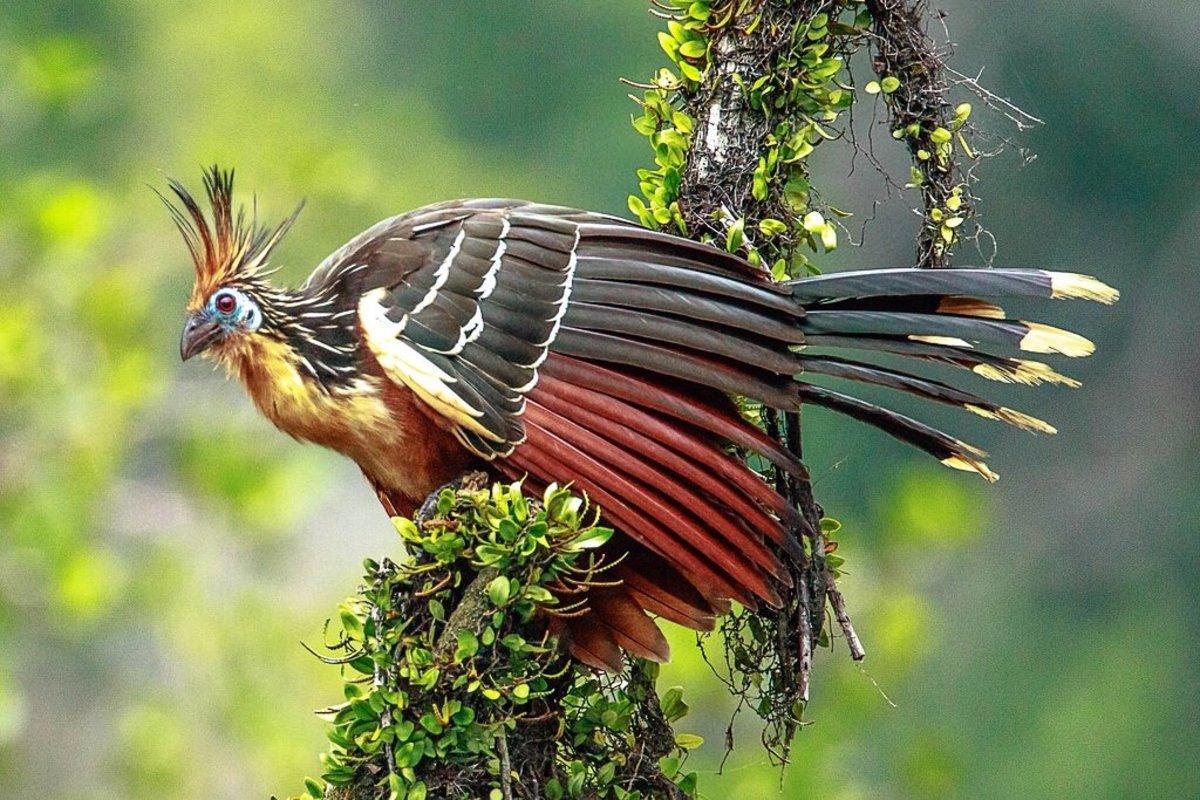 A hoatzin in Ecuador