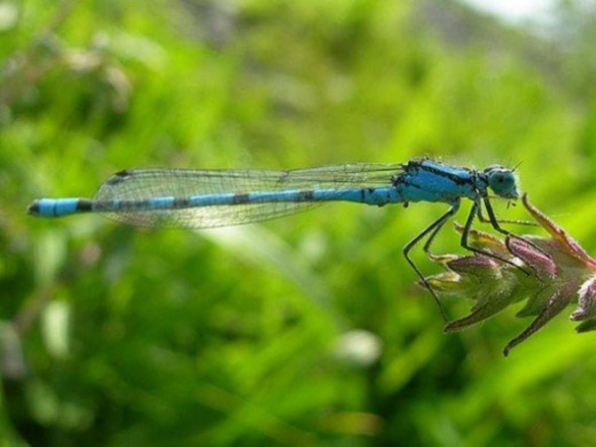 Damselflies are smaller, weaker fliers, and their large eyes are separate from each other.