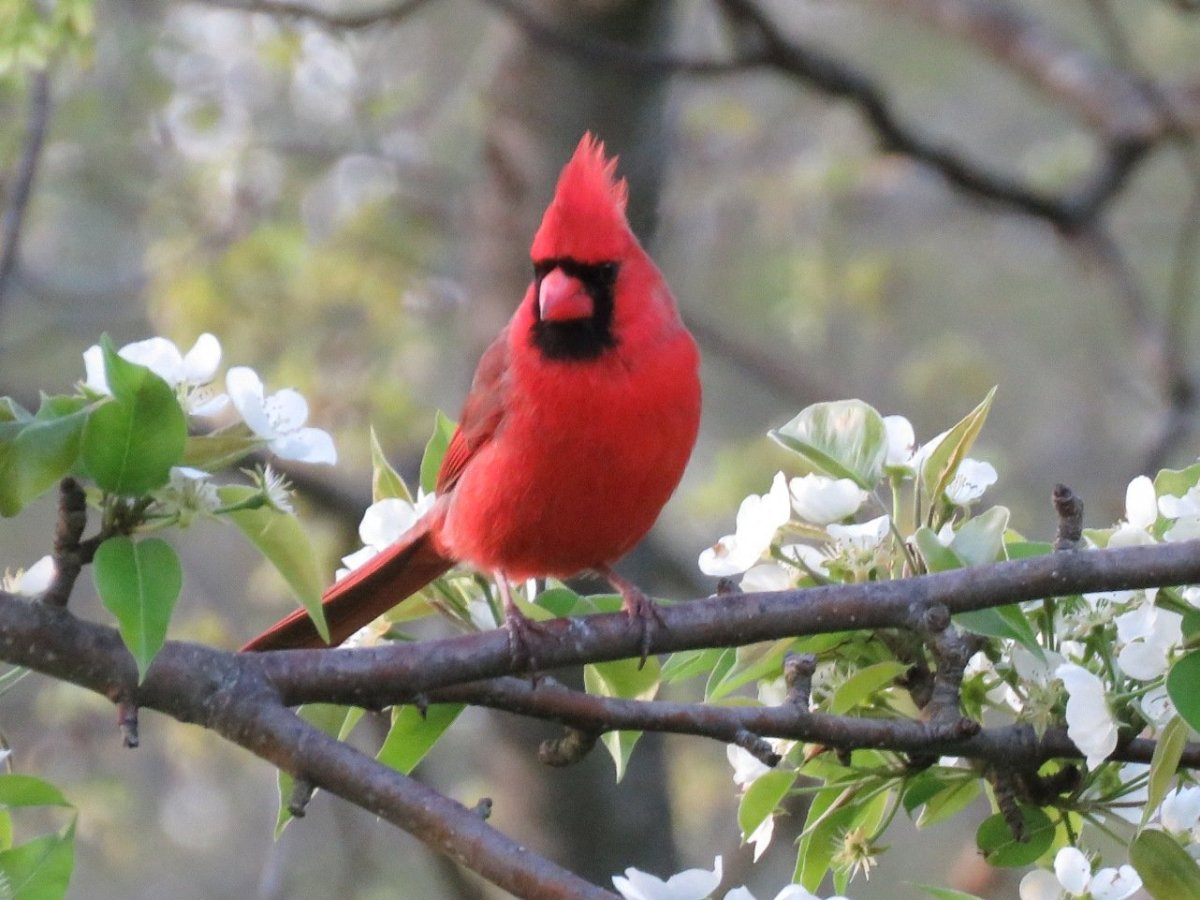 Learn how to attract the northern cardinal to your garden or yard.