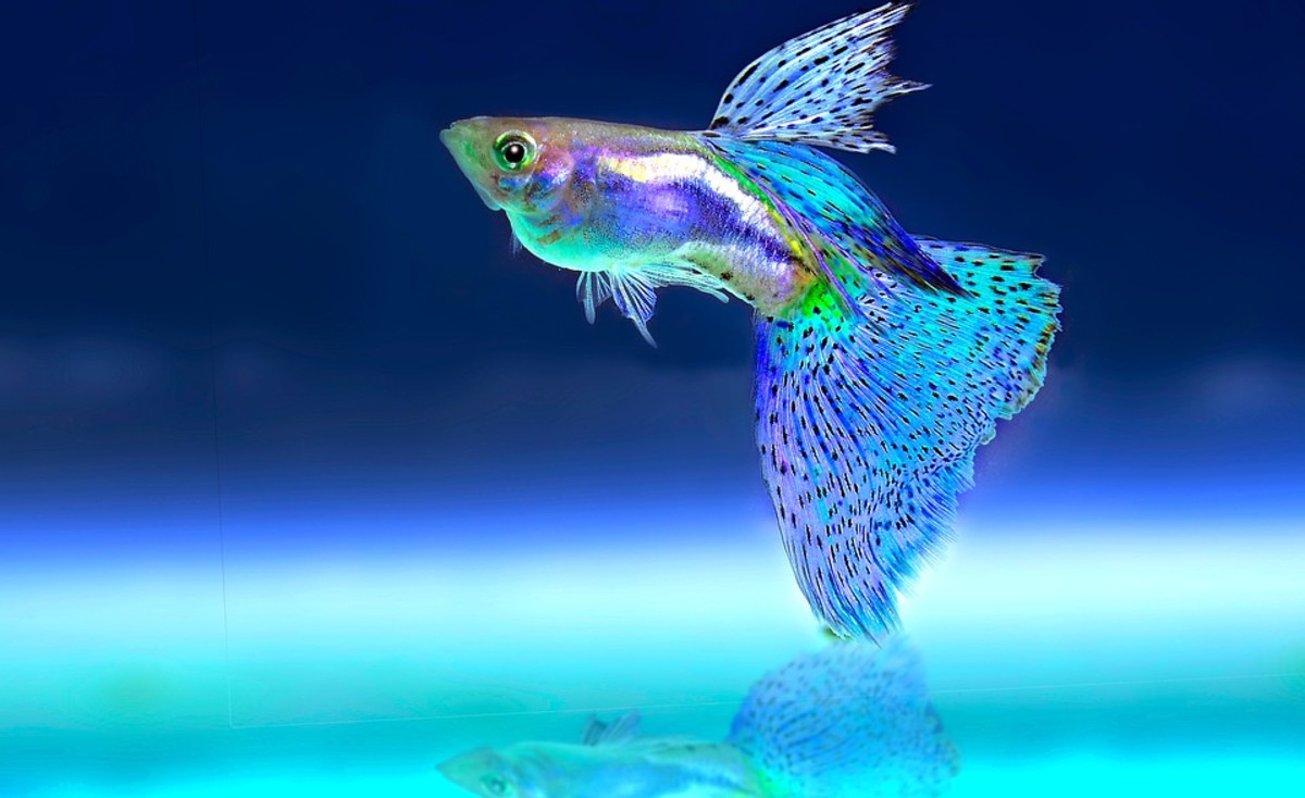 Can I Catch Tuberculosis From My Pet Fish?