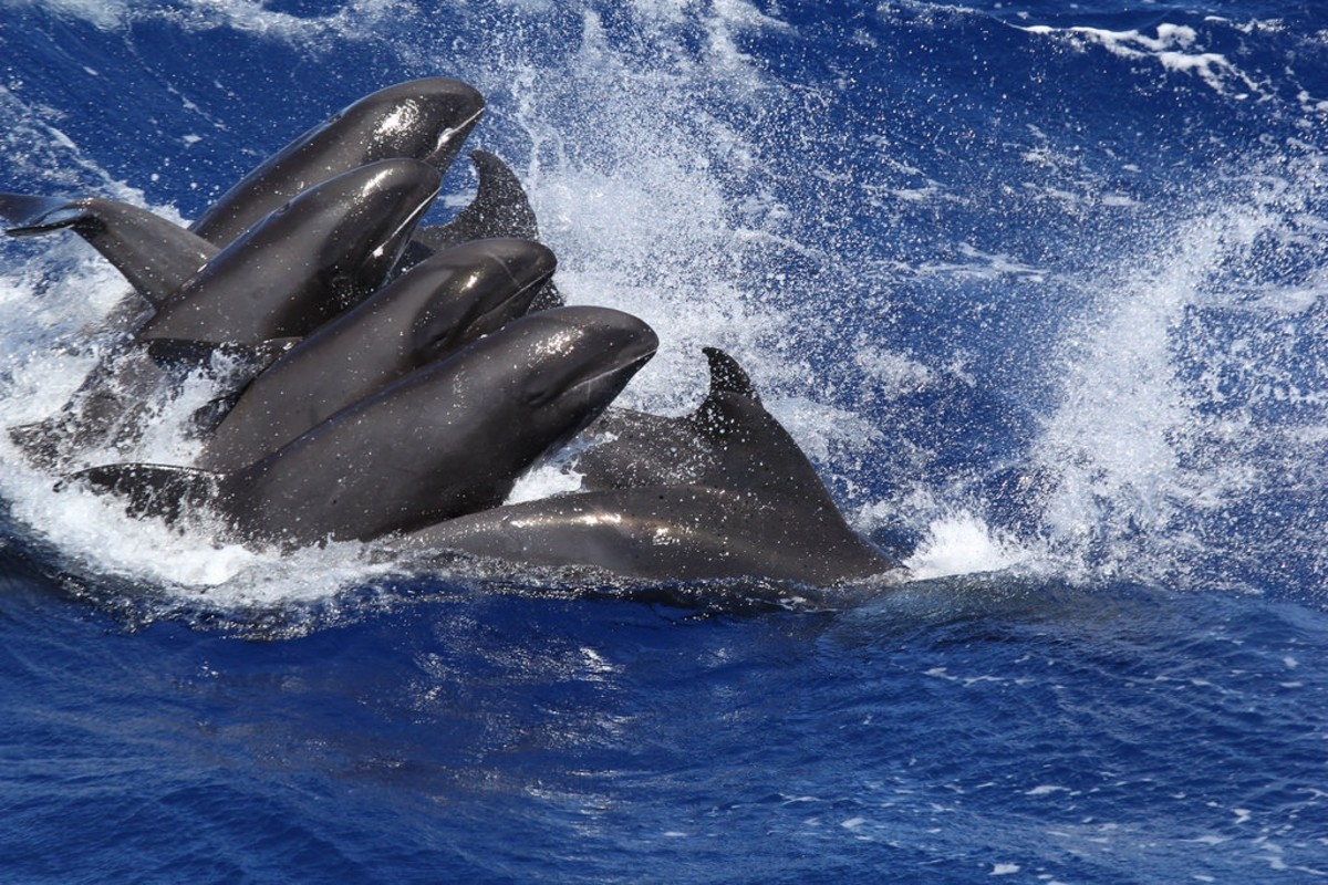 Melon-Headed Whales, Rough-Toothed Dolphins, and a Hybrid