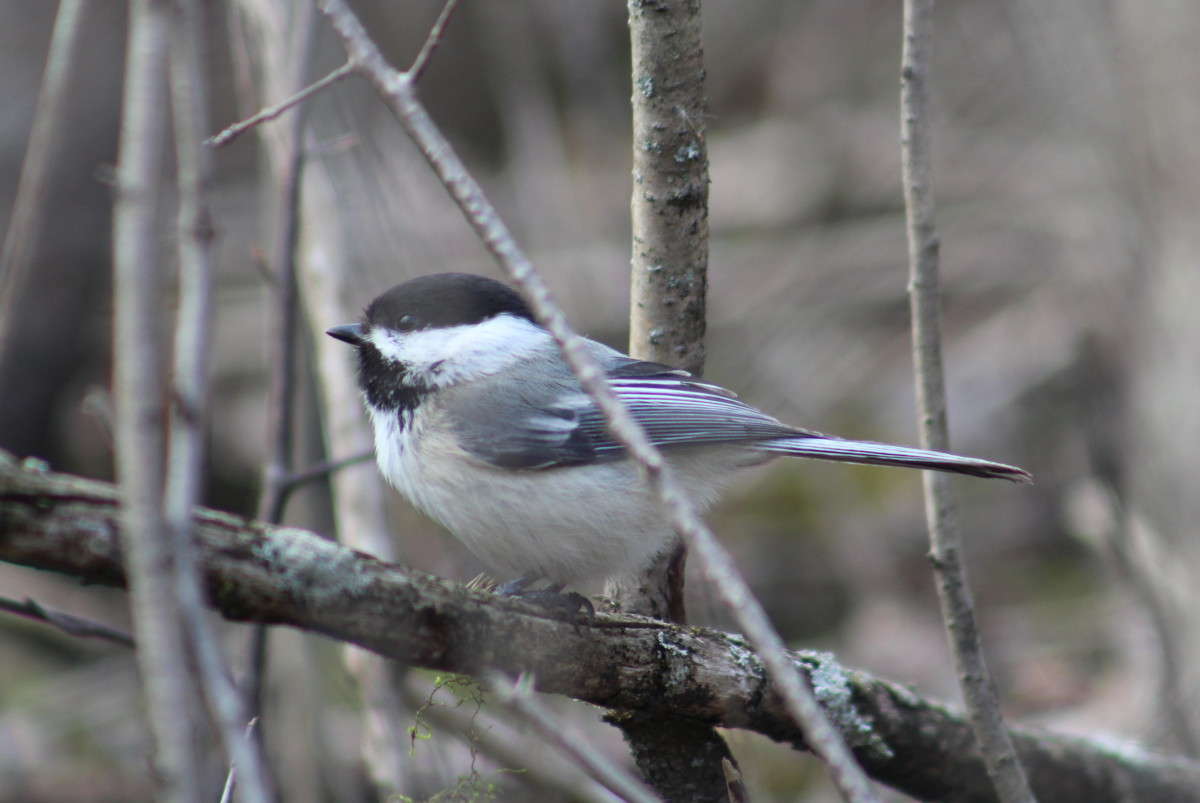 Spring Birds in Kingston, Ontario: A Photo Essay