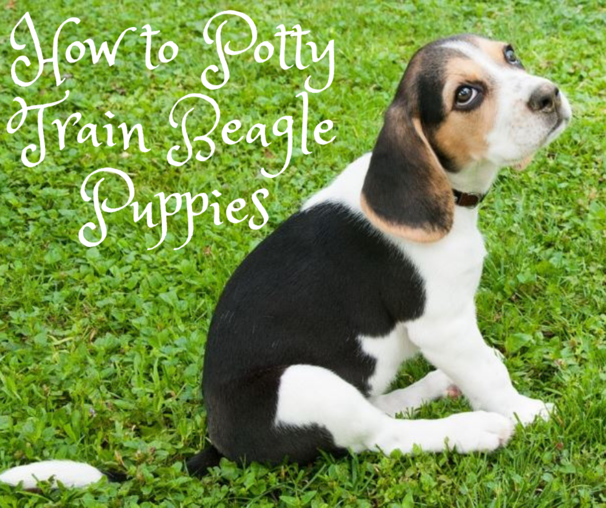 How to Potty Train a Beagle Puppy