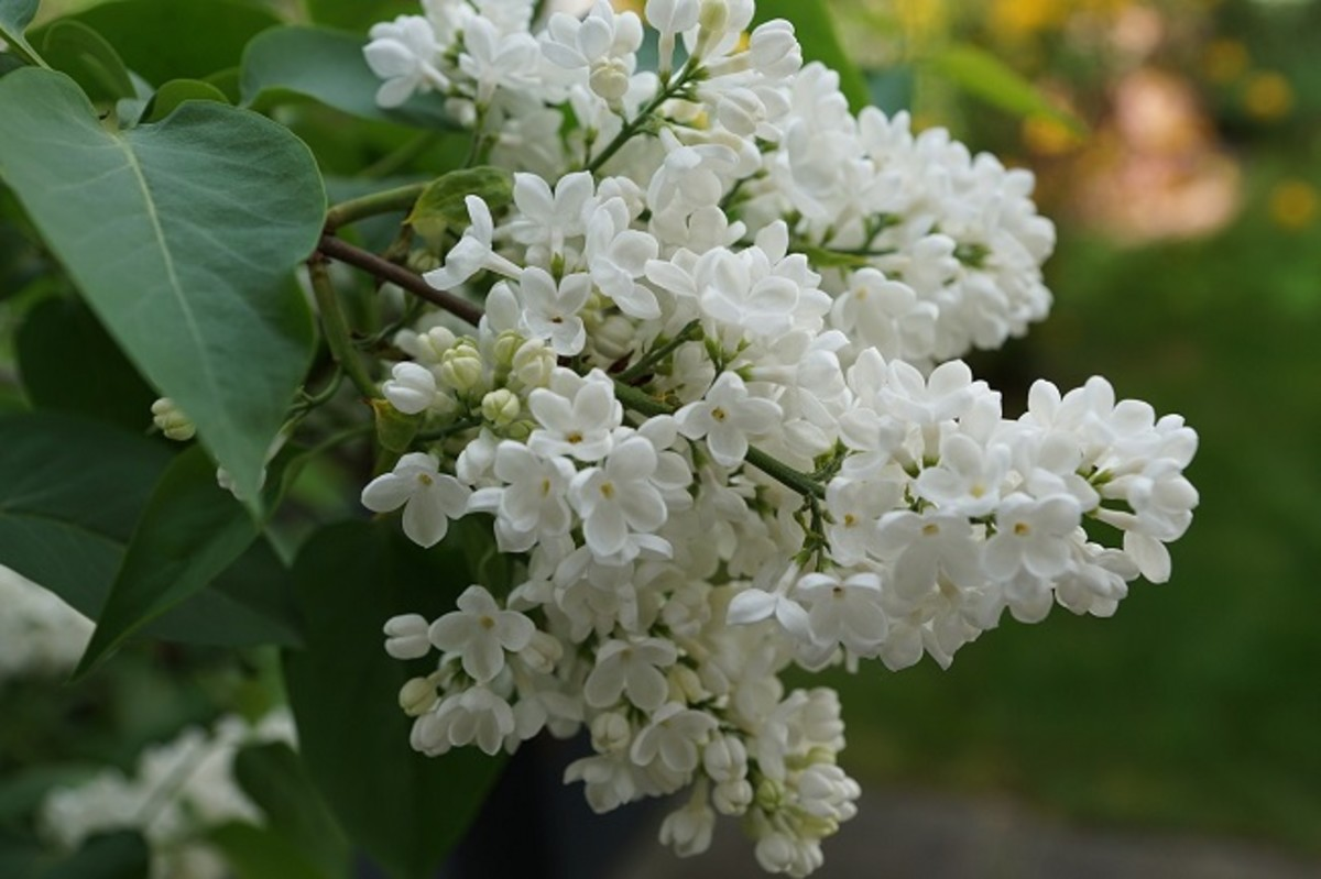 White Lilacs and Winter Poems