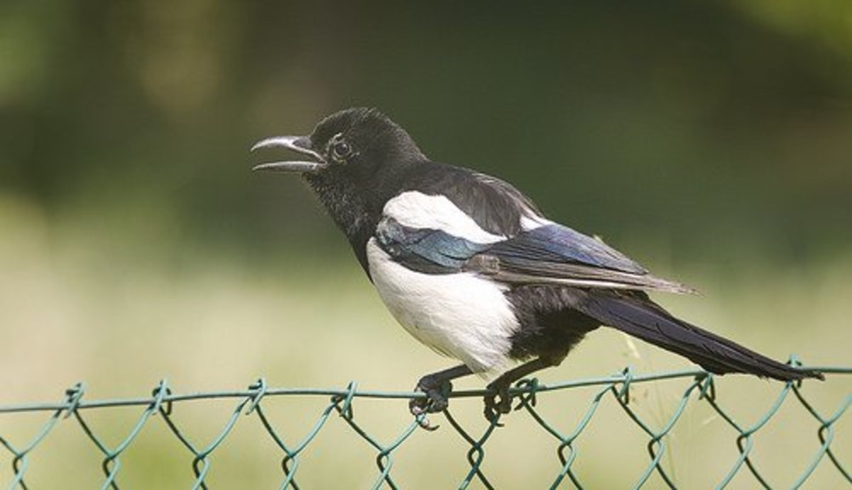 The Folklore of Magpies