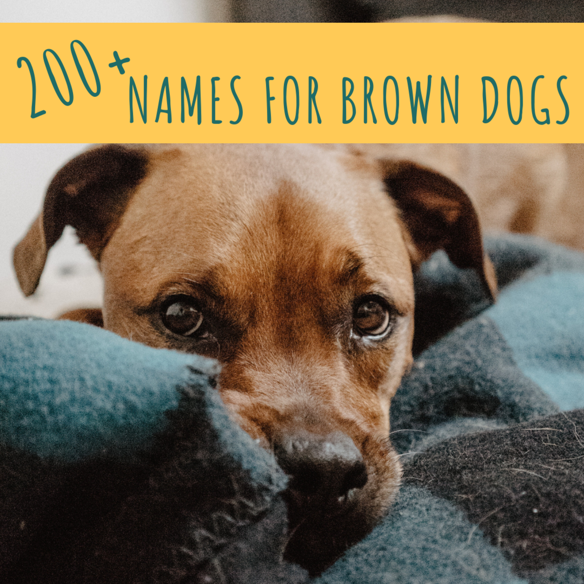 200+ Best Chocolate and Brown Dog Name Ideas