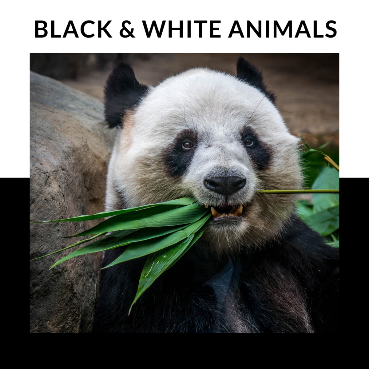 20 black and white animals names and pictures