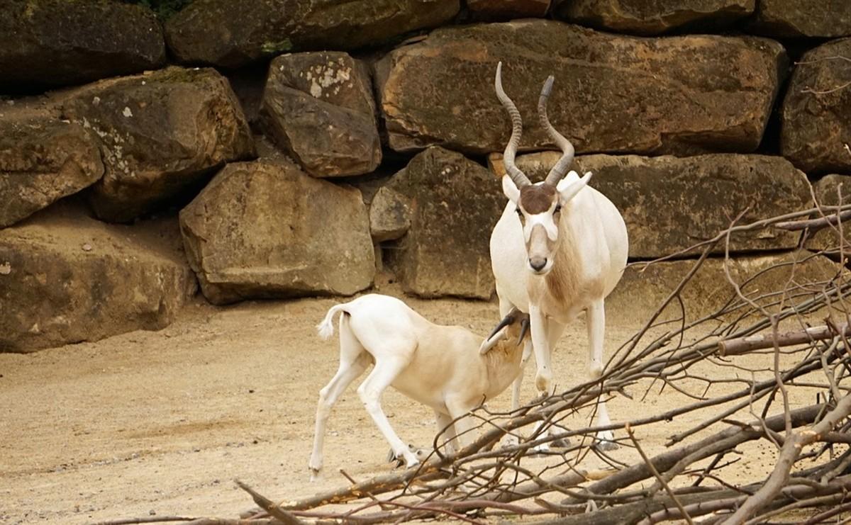 Addax Antelopes