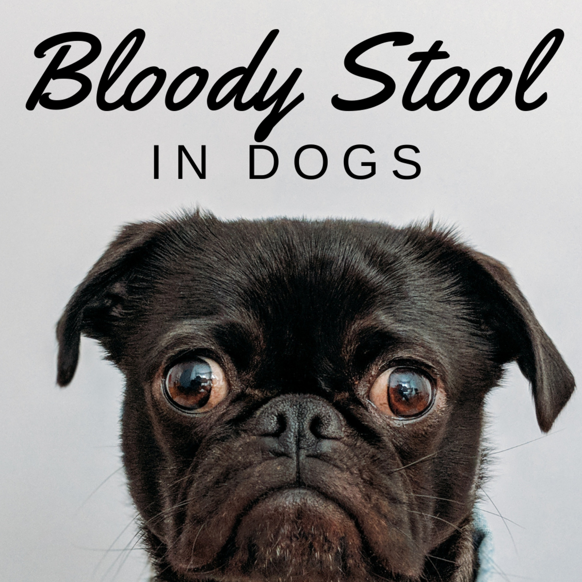 Why is there blood in my dog's poop?
