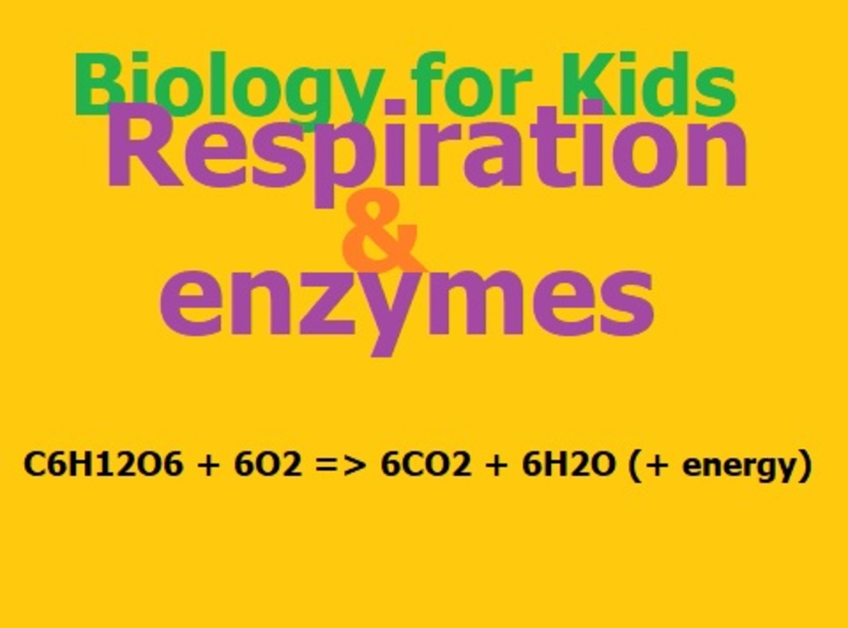 Biology for Kids: Respiration and Enzymes