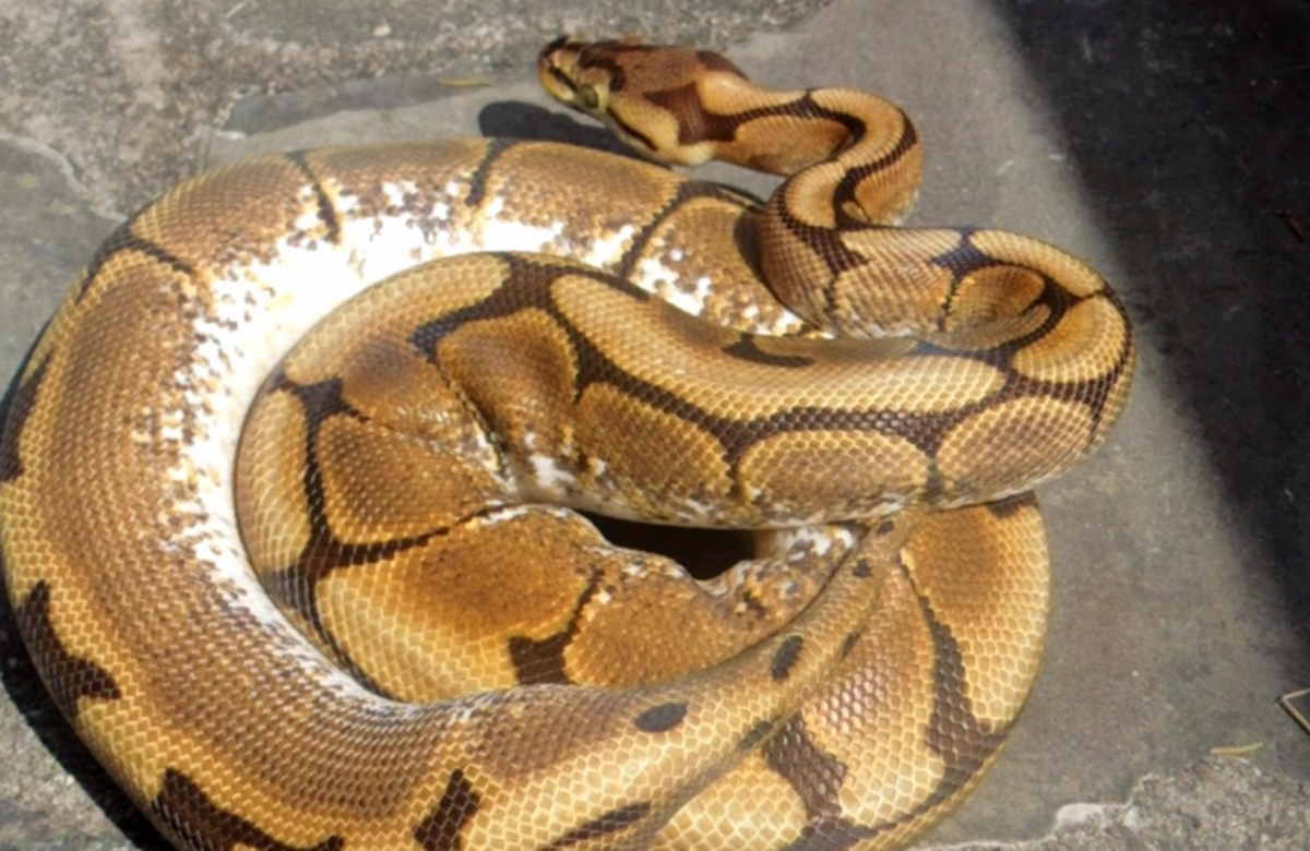 10 Methods to Get Ball Pythons to Eat Frozen-Thawed, Dead Prey