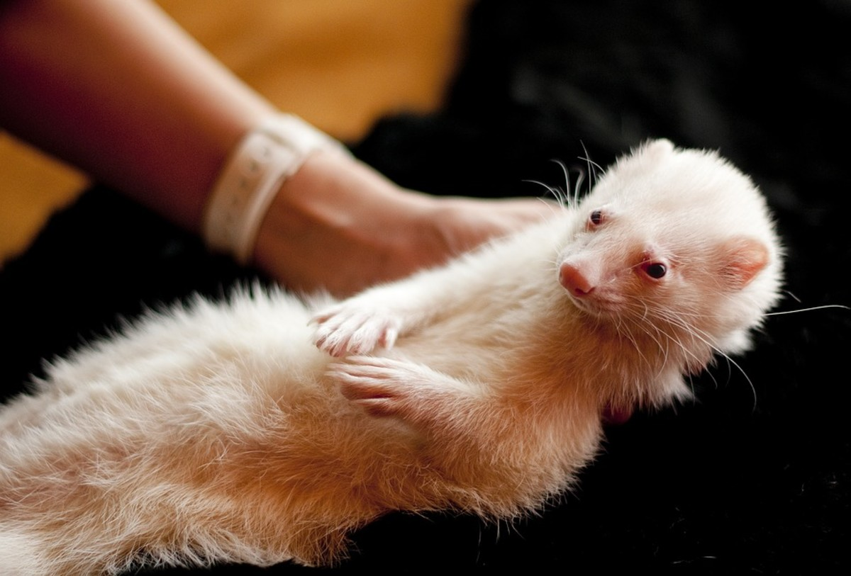 Ferrets are exotic pets. For this reason, one must think hard about the facts, the animal's needs and the law.