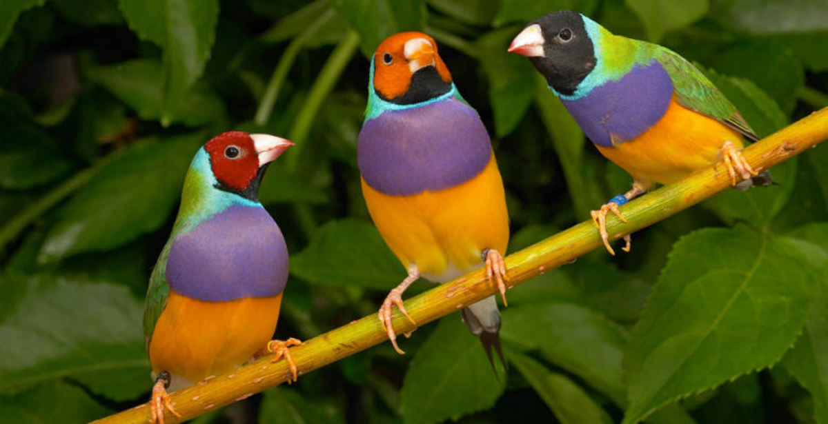 The Gouldian finches are generally categorized by the color of the head. The color variations are most common in birds bred in captivity, while in the wild, most of them have black heads.