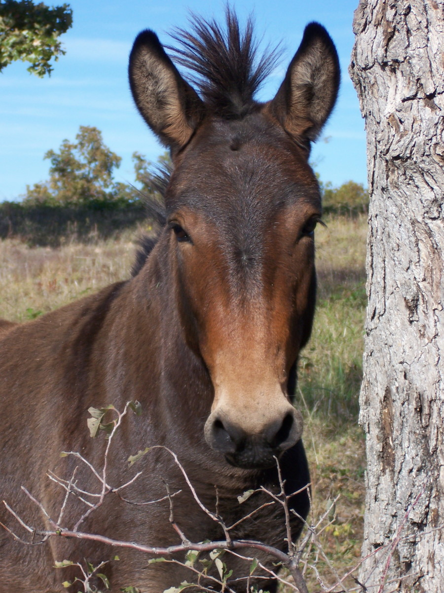 If Mules Ran Things, We'd Have Peace on Earth