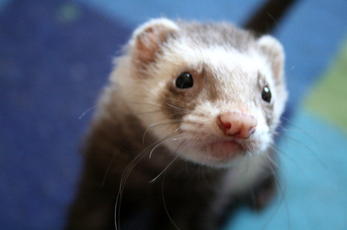 All About a Ferret's Digestive System and Nutritional Needs