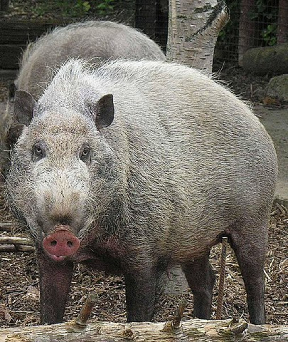 The Bornean Bearded Pig can be as playful as it is dangerous, so take care.