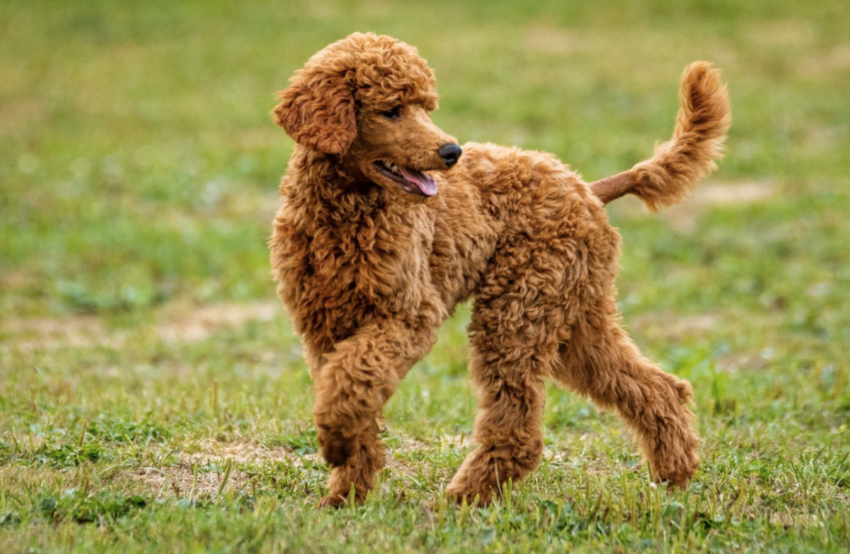24 Hypoallergenic Dogs That Don't Shed