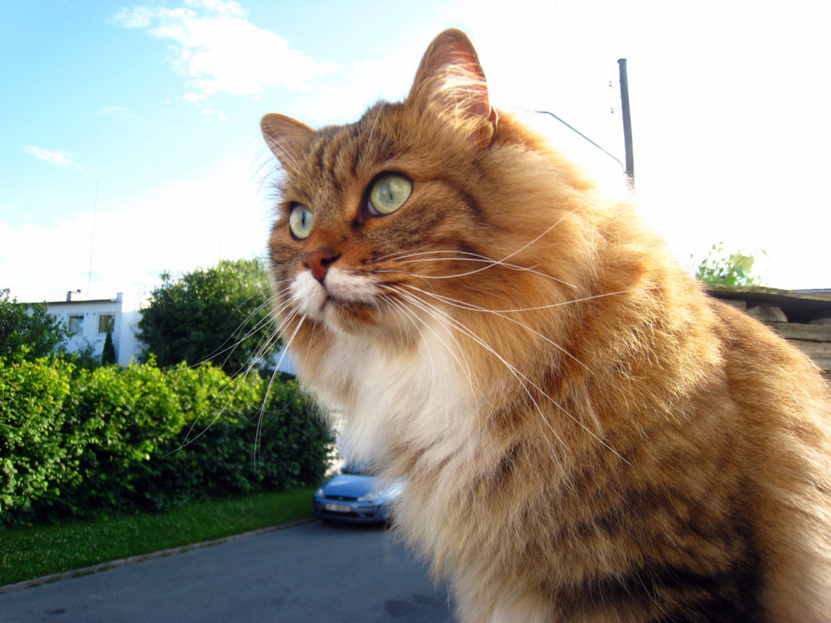 14 Best Hypoallergenic Cat Breeds for People With Allergies