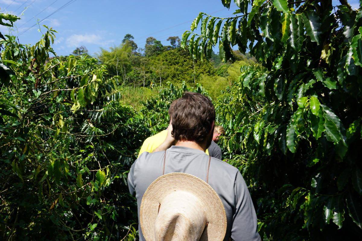 Walking Through a Coffee Field