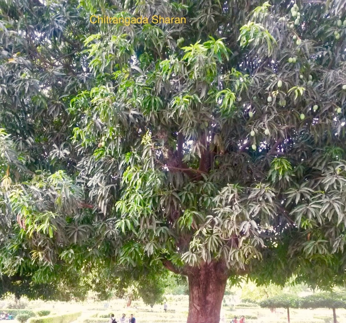 An old mango tree, loaded with ripe mangoes.