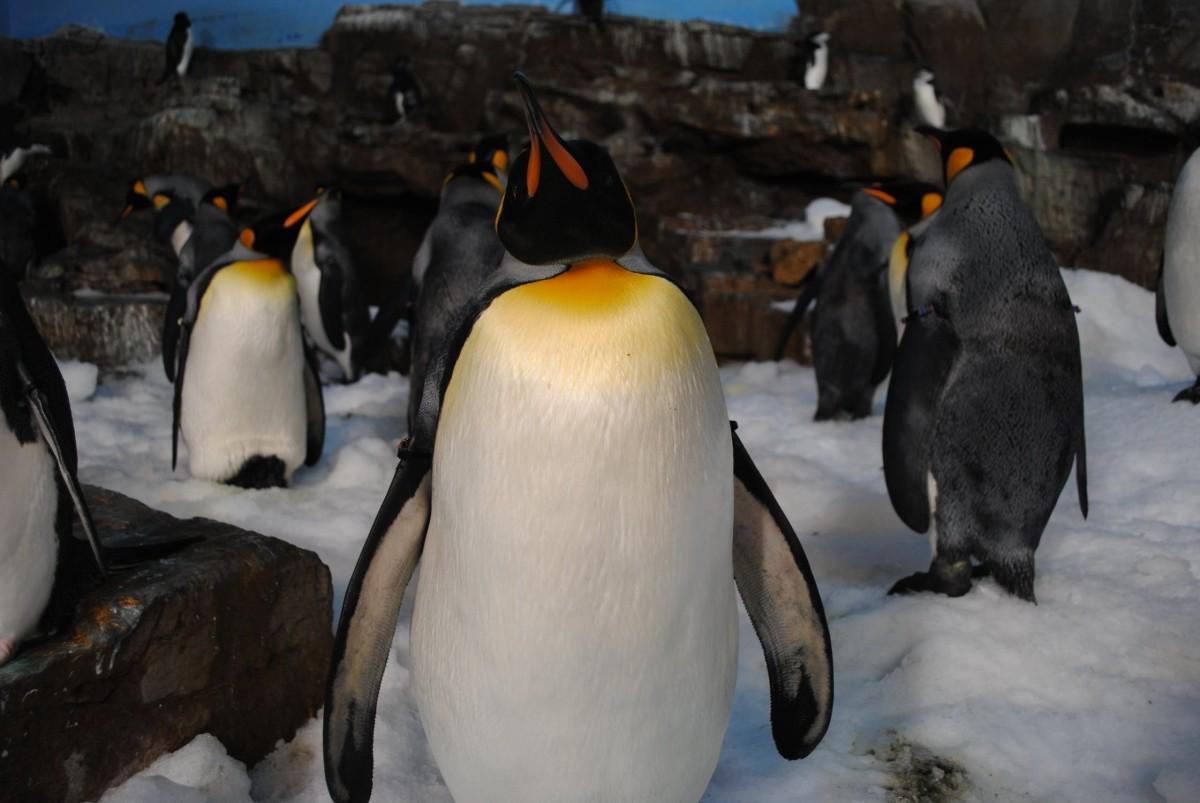 Penguin - A Haiku
