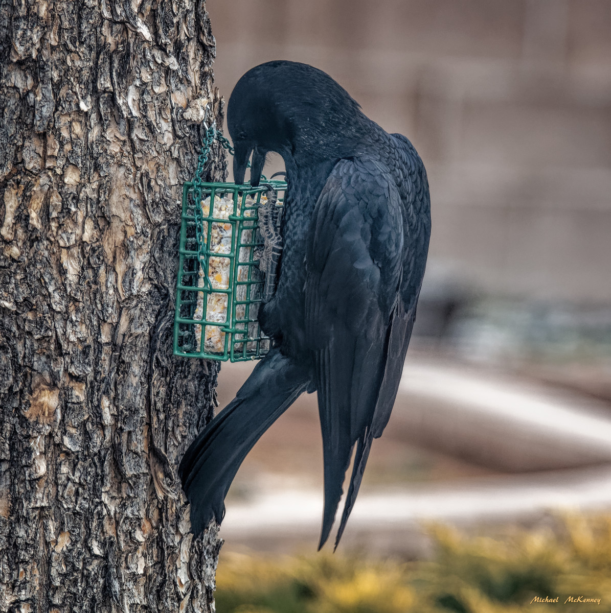 The crows in our backyard only admired our suet feeders for a long time then finally decided they were ready to taste it.