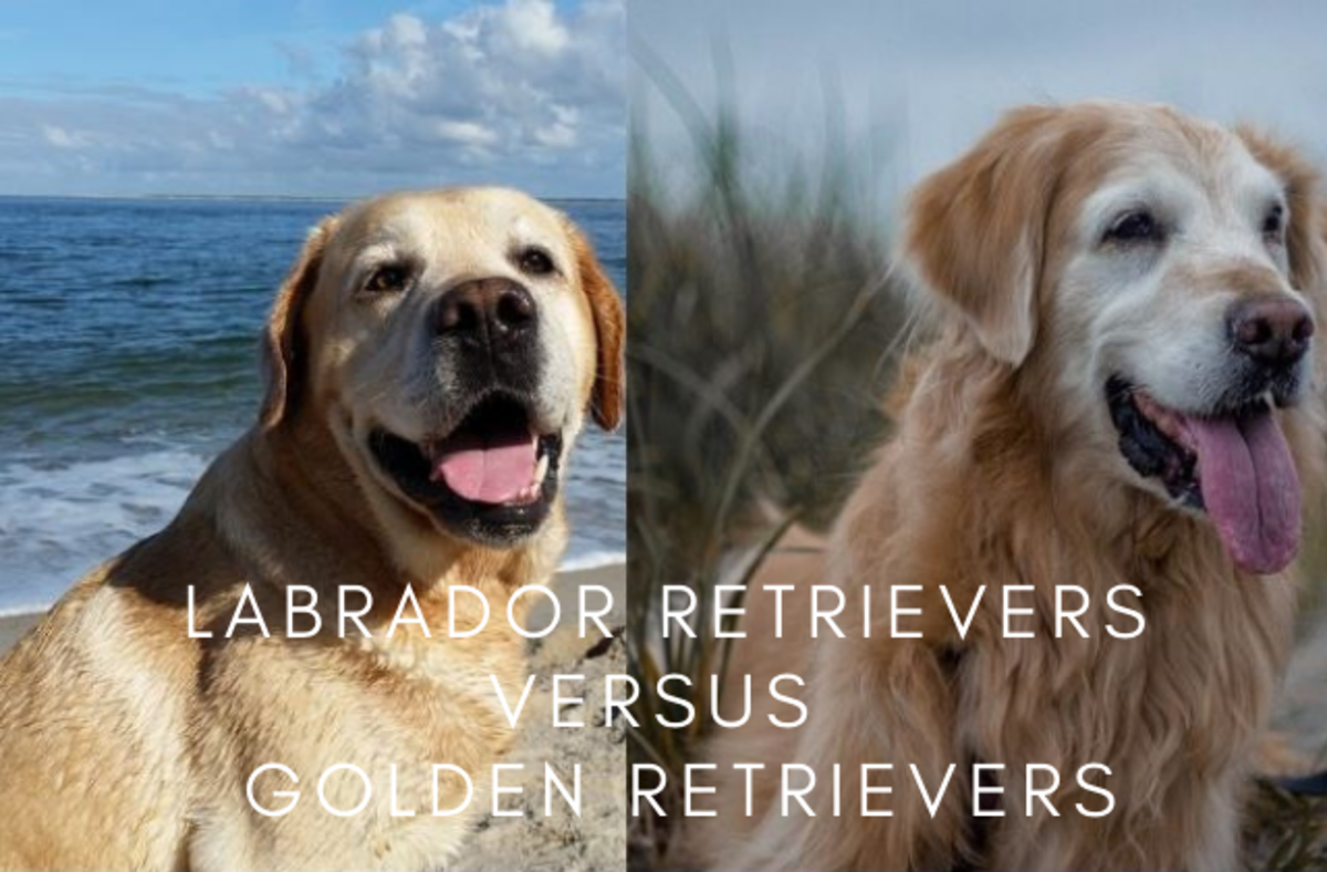 8 Differences Between Labrador Retrievers and Golden Retrievers