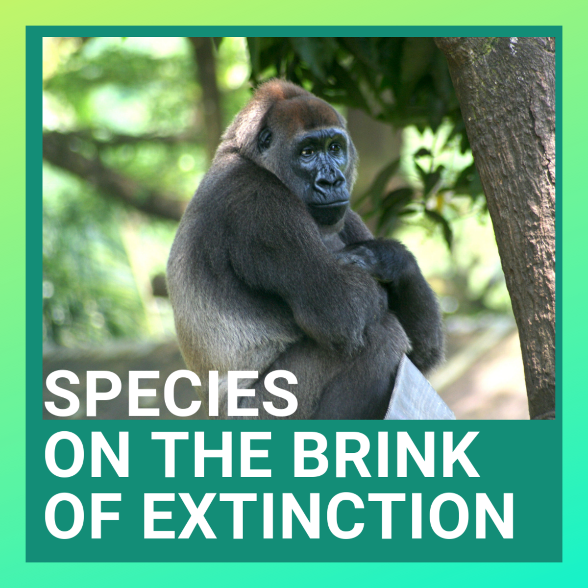 Species on the brink of extinction—the Cross River gorilla