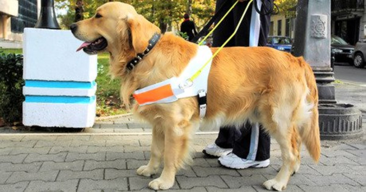 What Are Service Dogs? Breeds and Duties of These Fantastic Dogs
