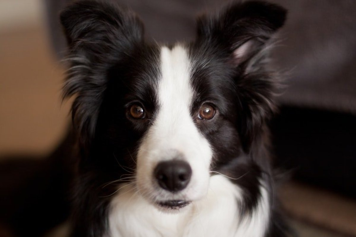 your-guide-to-border-collie-coat-colours