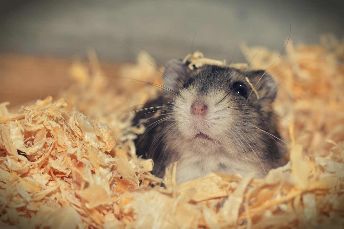 8 Things You Should Know Before Getting a Pet Hamster