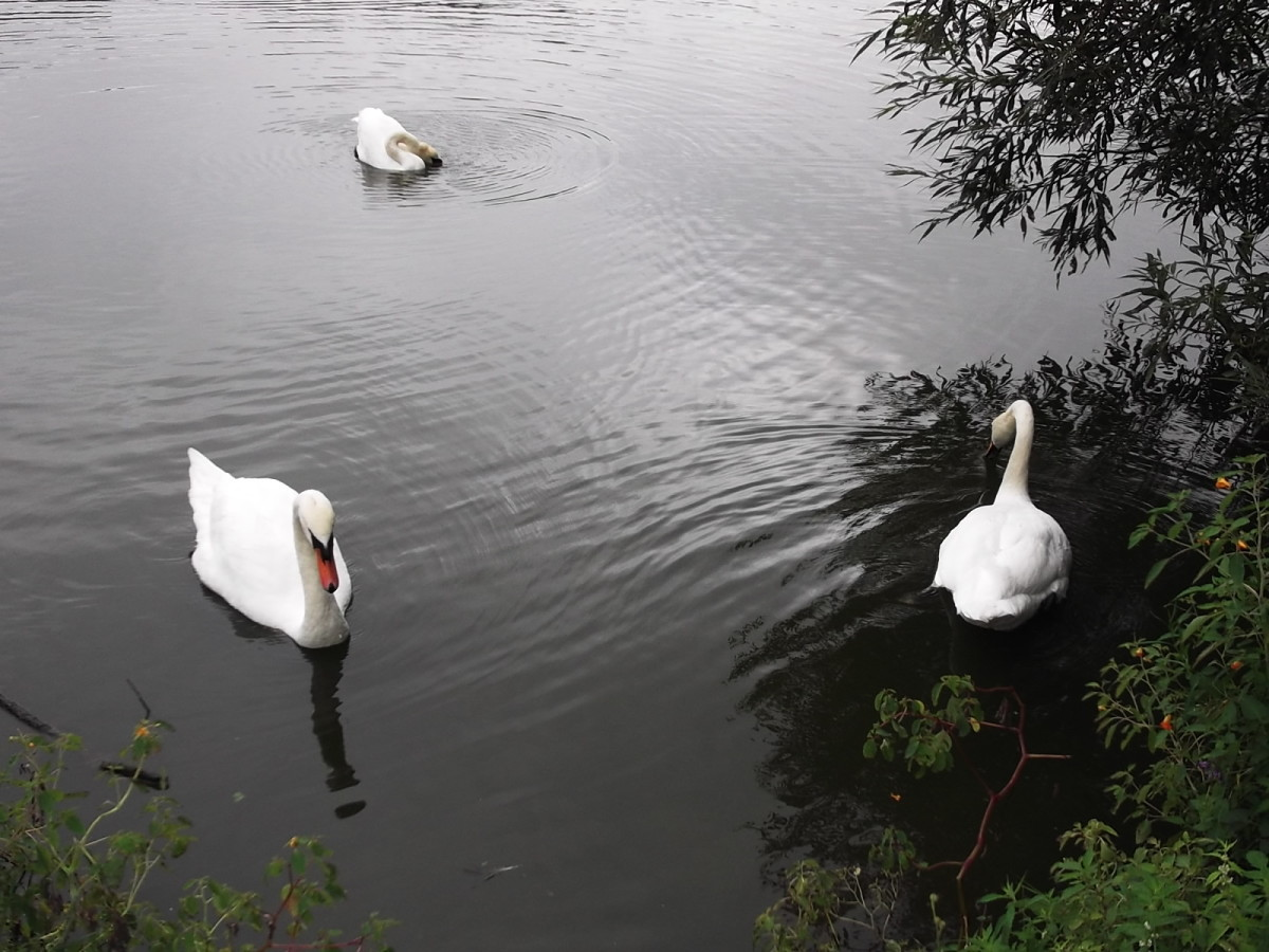 Swans on Avon River Stratford On