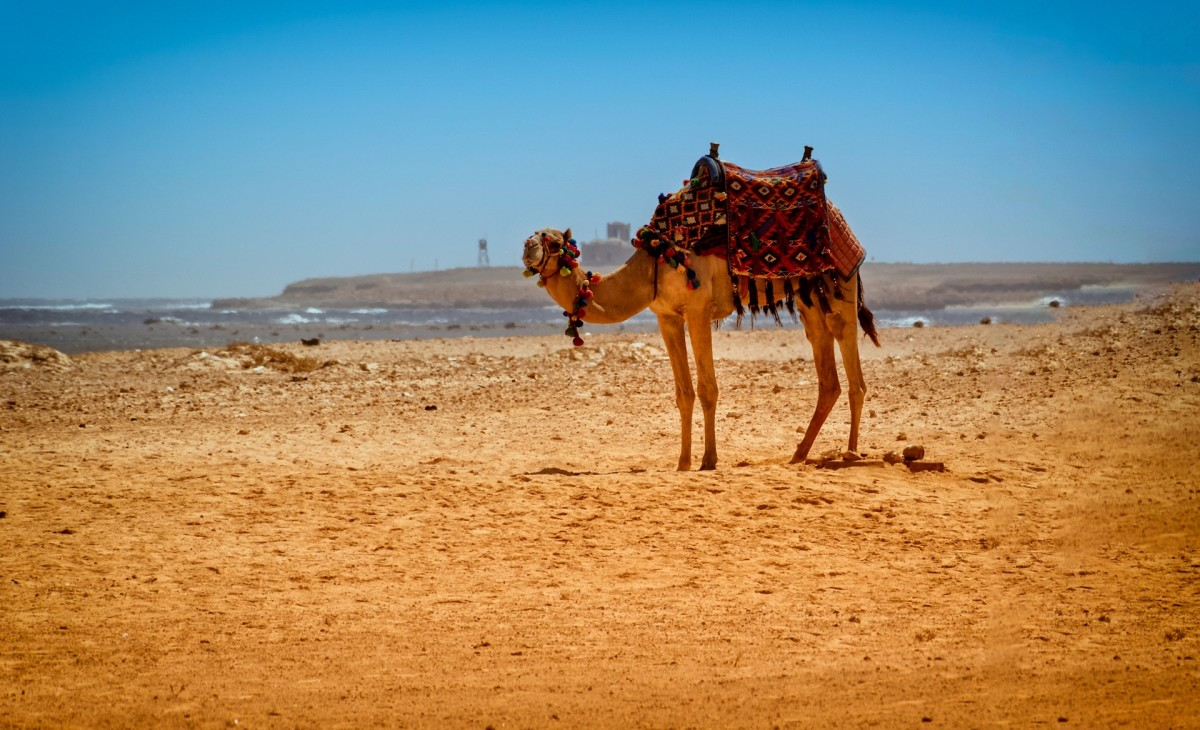 My Camel, My Love