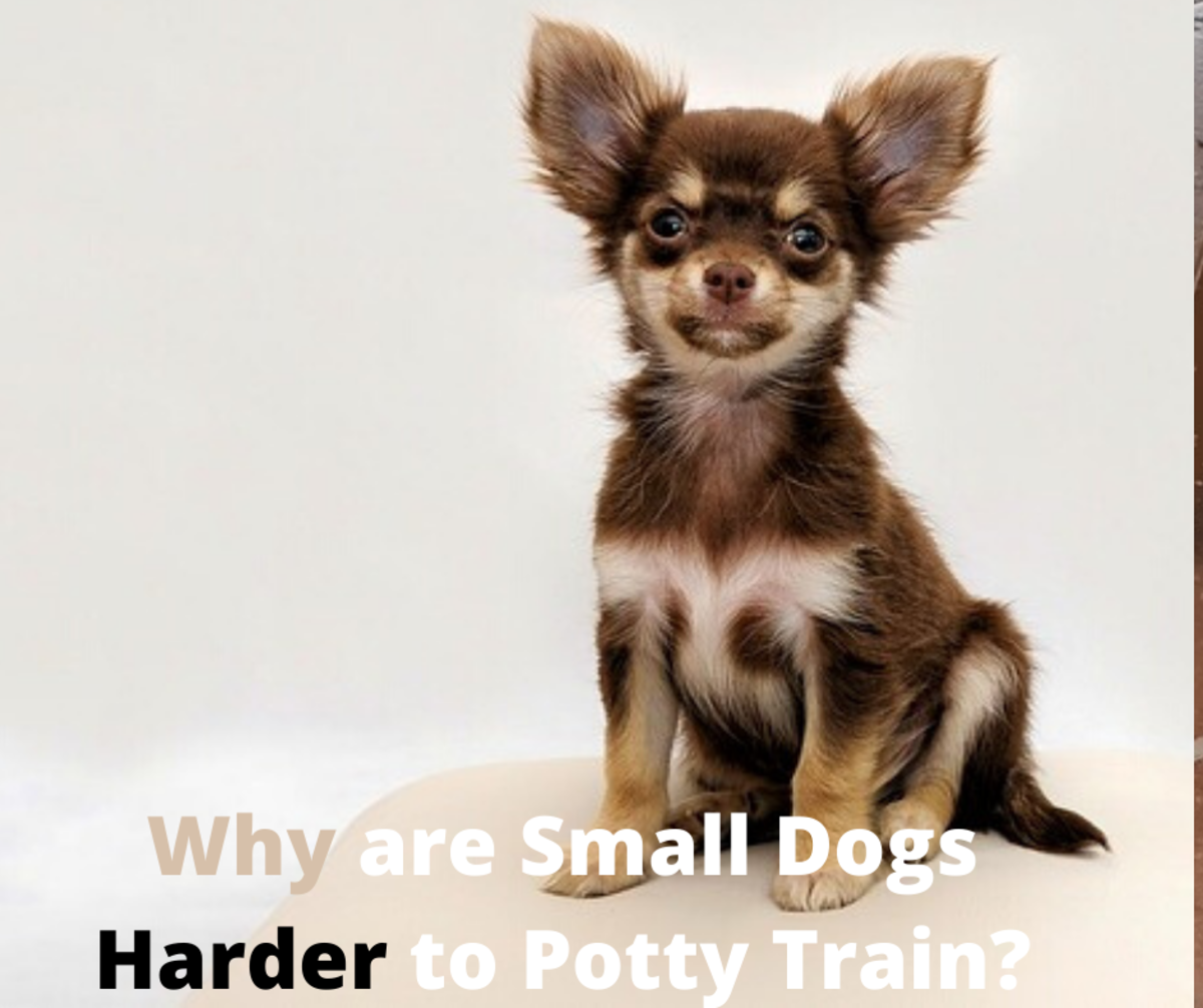 Why Are Small Dogs Harder to Potty Train?